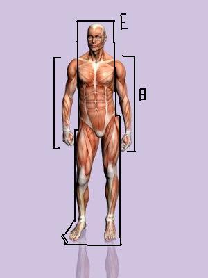Nombre:  cuerpo humano.JPG Vistas: 12787 Tamaño: 11,8 KB